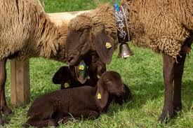 Bergschaf sheep